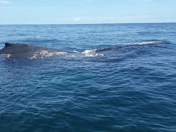 whale-watching-panama